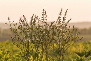 Wild baptisia in bloom (Rona Neri-Bergmann)