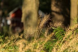 Bottle brush grass (Rona Neri-Bergmann)