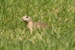 Ground squirrel (Rona Neri-Bergmann)