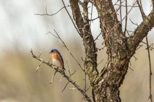 Bluebird in wild plum tree (Rona Neri-Bergmann)
