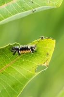 Tussock moth caterpillar (Rona Neri-Bergmann)