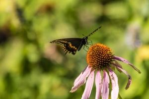 Black swallowtail butterfly & pale purple coneflower (Rona Neri-Bergmann)