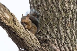 Gray squirrel (Rona Neri-Bergmann)