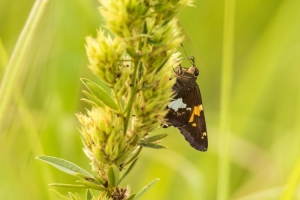 Butterfly on bush clover plant (Rona Neri-Bergmann)