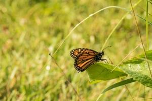 Monarch butterfly (Rona Neri-Bergmann)