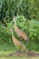 Sandhill crane (Rona Neri-Bergmann)