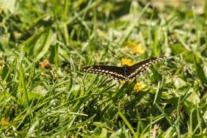 Black swallowtail butterfly (Rona Neri-Bergmann)
